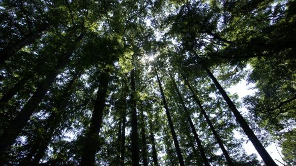 針葉樹林の林