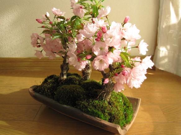 お家で簡単お花見!桜盆栽の育て方