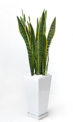 観葉植物 サンスベリア