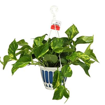 観葉植物 ポトス