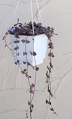 観葉植物 ハートカズラ