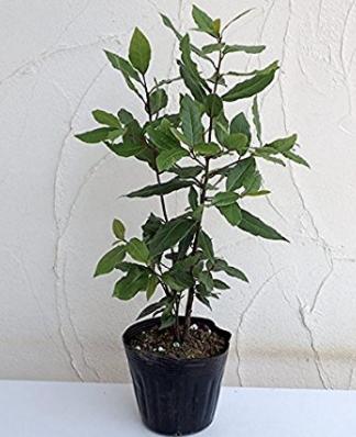 観葉植物 月桂樹